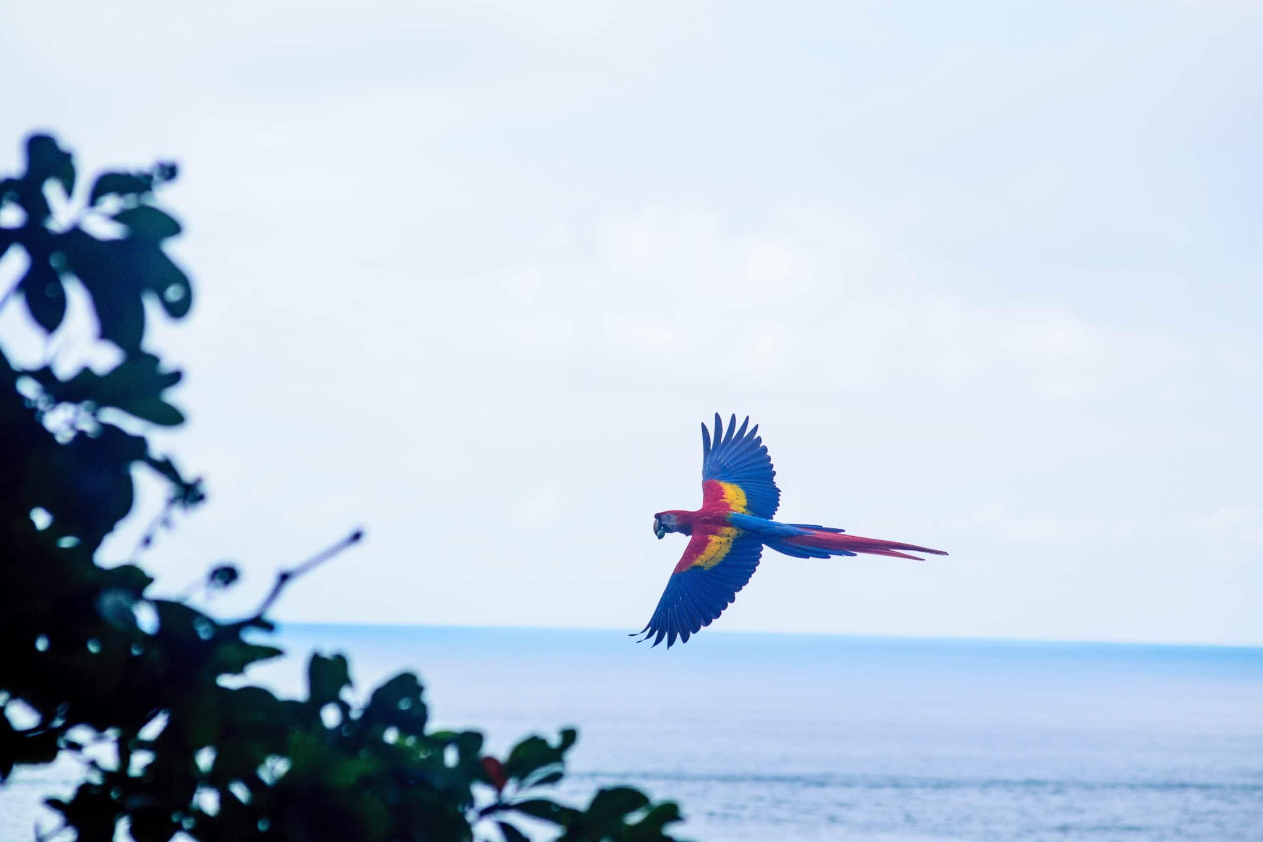 Perroquet Costa Rica