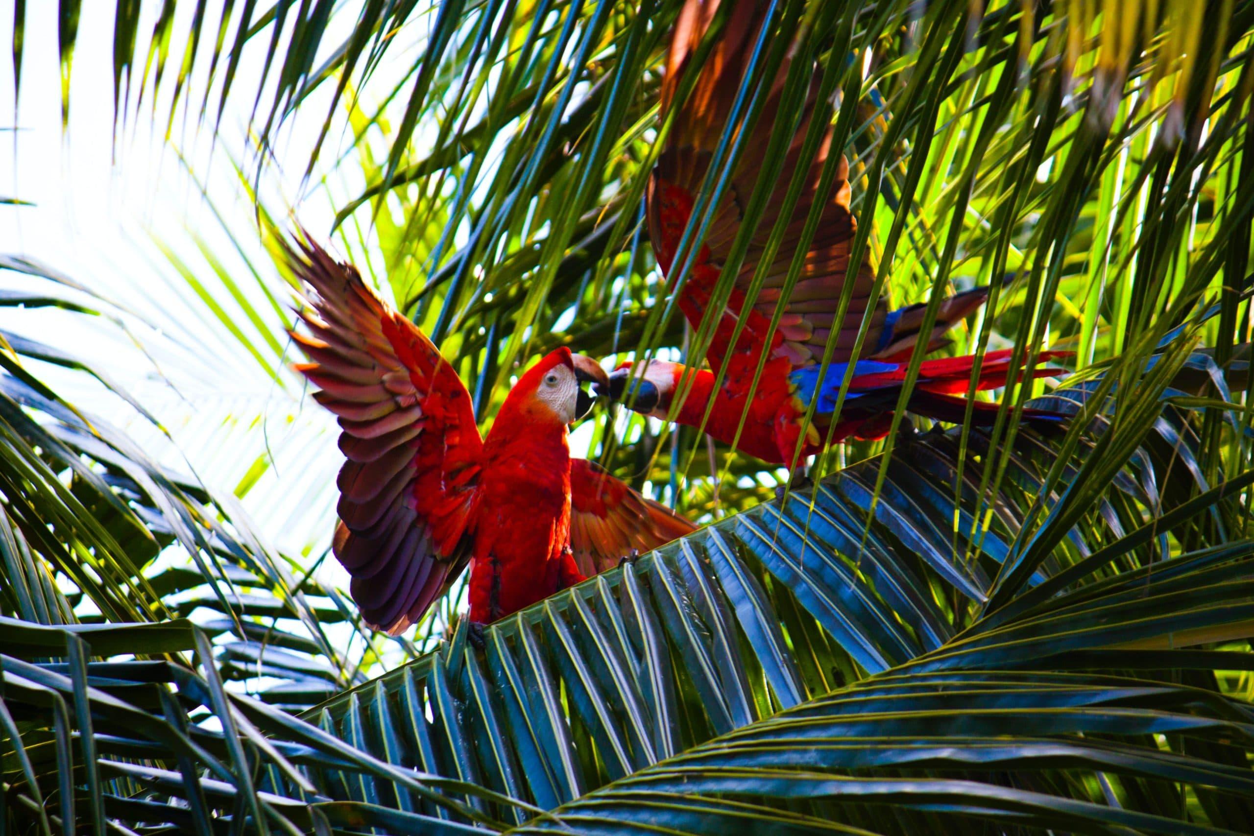 Cople de Ara Macao au Costa Rica
