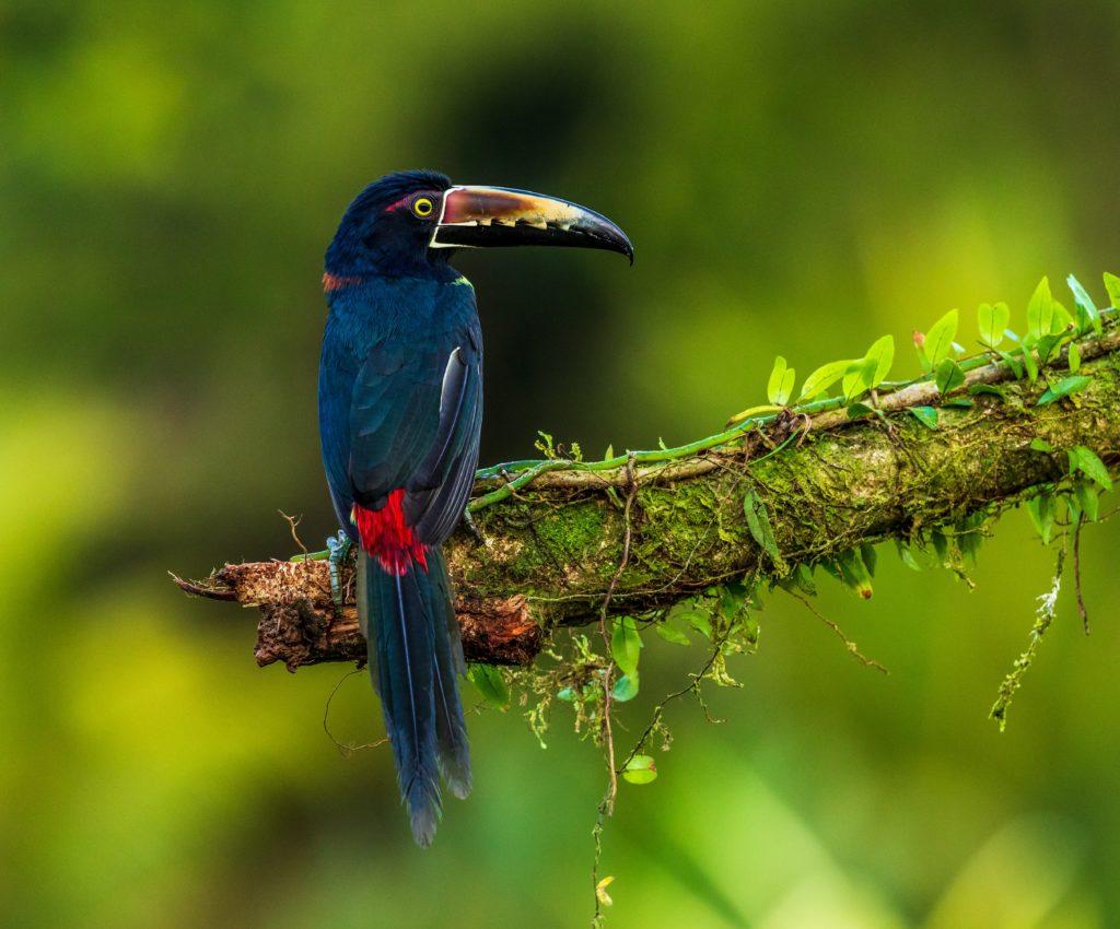 Oiseau exotique Aracari Costa Rica