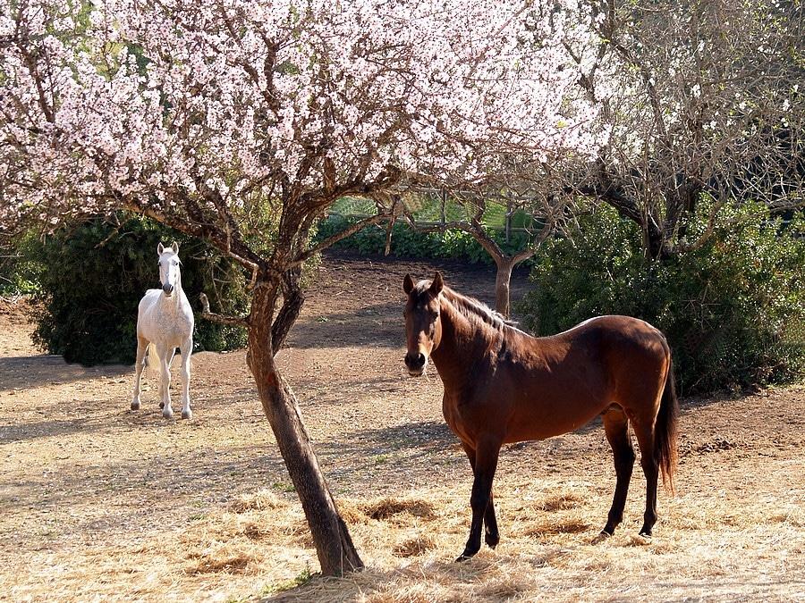 Algarve amandier