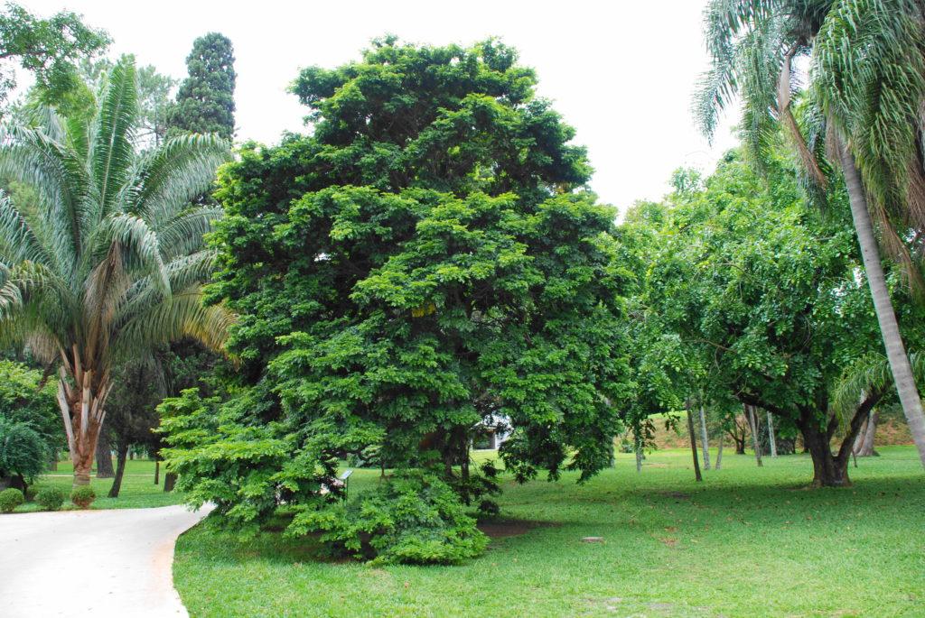 Pau Brasil arbre du Brésil
